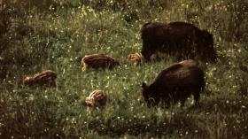 wildschweine2